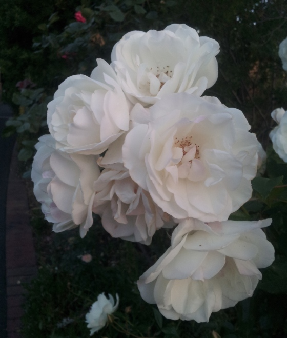 A beautiful white rose in a neighbour's garden
