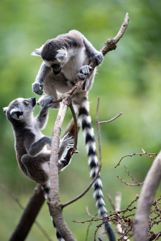 Baby Lemurs - Madagascar