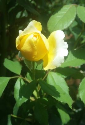 Yellow Bud
